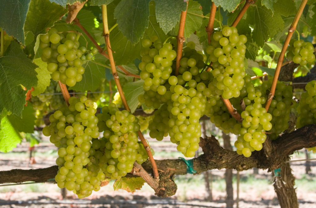 Cépage Chardonnay - Californie