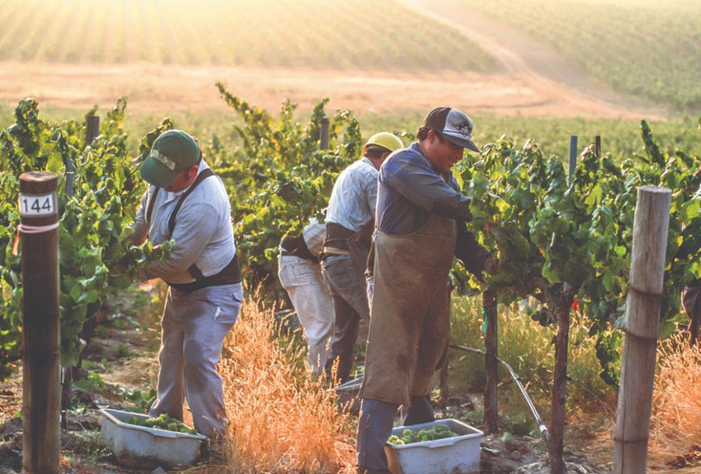 Vendanges dans les vignobles de la Californie
