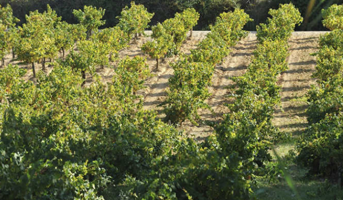 Vignobles de la Cooperativa Agricola Santo Isidro de Pegoes