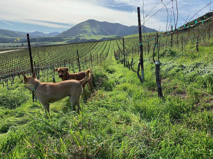 Boony Doon Vineyard - Beeswax Vineyard